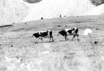Vaches1.jpg